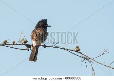 Red Vented Bulbul Bird (pycnonotus Cafer)