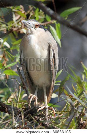 Kwakwa - bird of Ardeidae - Nycticorax nycticorax