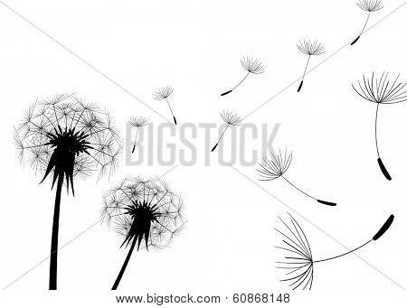Blow Dandelion on white background
