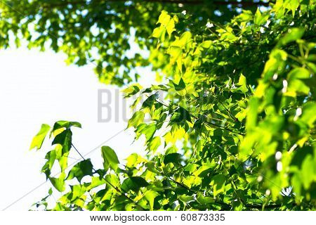 Backlight green platan leaves on front of blue sky