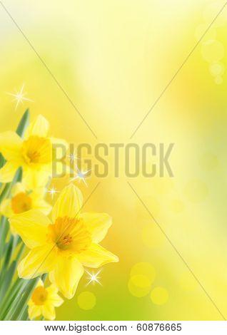 Daffodil Background