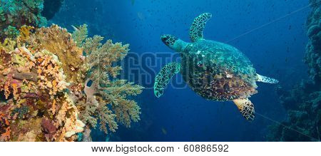 Hawksbill sea turtle (Eretmochelys imbricata) in blue water