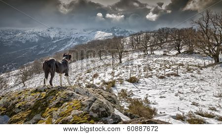 Border Collie Dog Looking Out Over Snow Covered Mountains