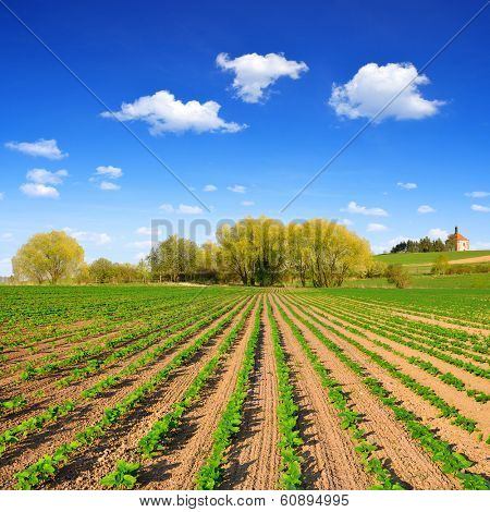 Spring landscape with freshly sown sunflower field