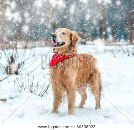 retriever walk at the snow in winter park