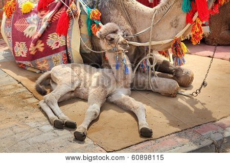 camel cub lying near his mother
