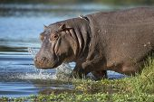 stock photo of ox-pecker  - Hippo walking into water with ox peckers on his back South Africa - JPG