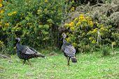stock photo of wild turkey  - Female and male wild turkeys walking in the open woods in Hawaii - JPG