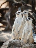 Portrait Of Meerkats