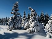 Spruce Forest In Winter Time