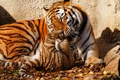 picture of tiger cub  - The tiger mum in the zoo with her tiger cub  - JPG