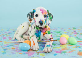 stock photo of little puppy  - A funny little Dalmatian puppy that looks like he just painted some Easter eggs - JPG