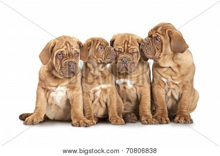 Four French Mastiff Puppies Over White