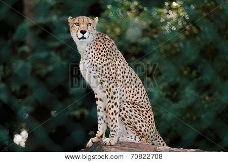 Cheetah in enclosure