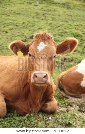 Frontal Shot Of Cow