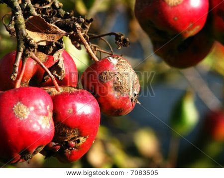 Rotten apples on the tree