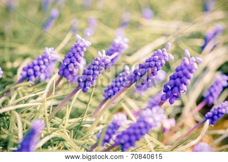 Bluebells flower (Grape Hyacinth, Muscari armeniacum)