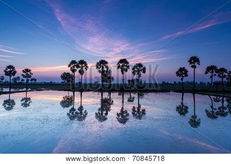 Colorful sunset or sunrise landscape with silhouettes of palm trees ( Borassus flabellifer ) on the