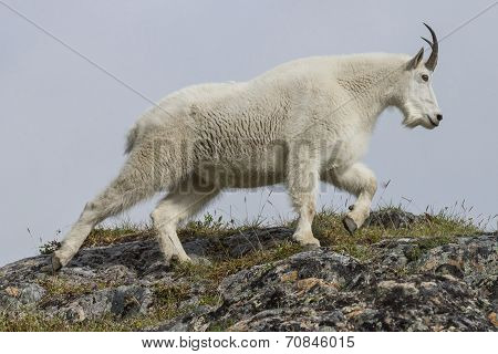 top of the hill goat