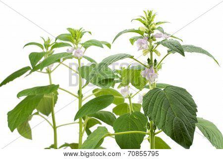 Sesame flower
