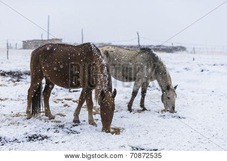 horse in snow, winter tiebet china.