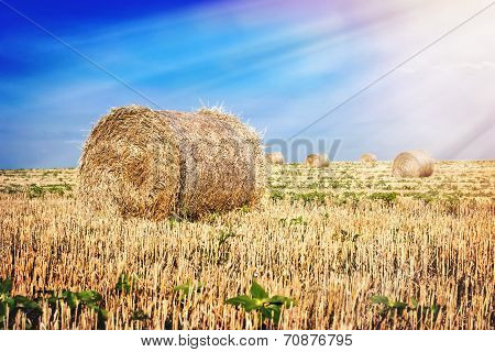 Bales of straw in the field
