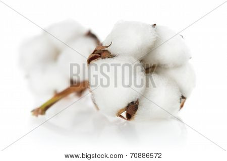 Isolated Cotton Bolls Closeup