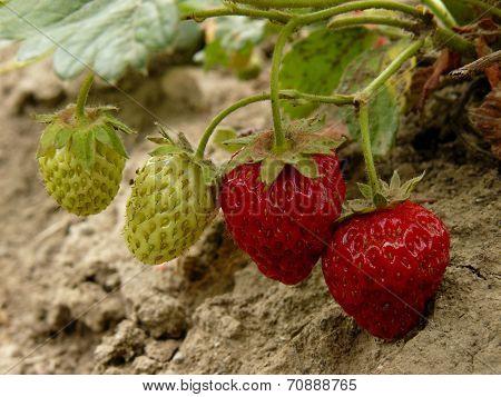 strawberries ripening in a garden