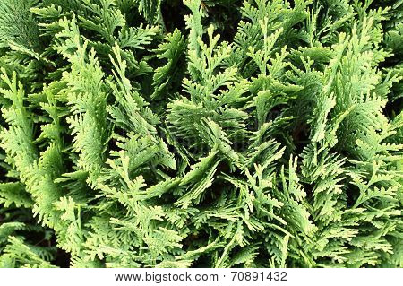 thuja occidentalis background, texture