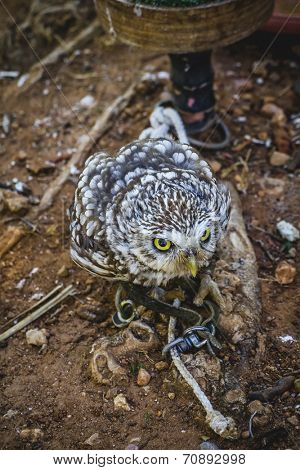 predator, cute little owl, gray and yellow beak and white feathers