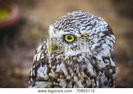 hunter, cute little owl, gray and yellow beak and white feathers