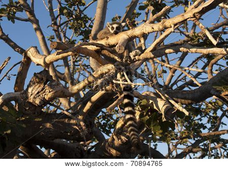 Ring Tailed Lemur Sitting On The Tree Photo