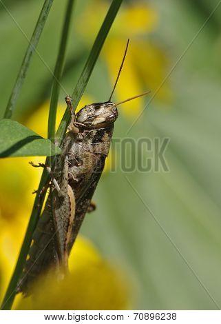 Large Grasshopper.