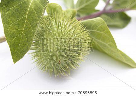 Herbarium  Datura Inoxia Branch