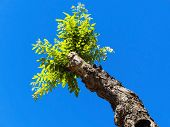 picture of circumcision  - young shoot of a pruned tree - JPG
