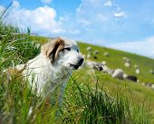 image of mustering  - Sheepdog guarding a flock of sheep herd - JPG