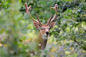 picture of cervus elaphus  - Wild whitetail deer standing in summer wood - JPG
