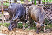 foto of carabao  - Water Buffalo in a farm with the beautiful horns - JPG