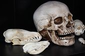 pic of opossum  - A collection of assorted skulls with black backdrop - JPG