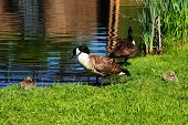 picture of mother goose  - Canadian Geese Preening at the Edge of a Pond - JPG