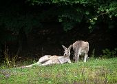 Постер, плакат: Two Kangaroos Resting On The Meadow