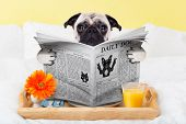 foto of bed breakfast  - pug dog reading the newspaper and having breakfast in bed - JPG
