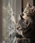 stock photo of baby cat  - Tabby baby cats look in a window pane - JPG