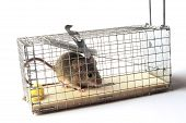 image of mouse trap  - Scoop mouse or mouse trap before the bomb is done - JPG
