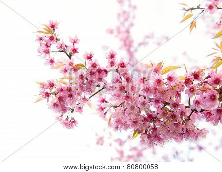 Beautiful Wild Himalayan Cherry Flower