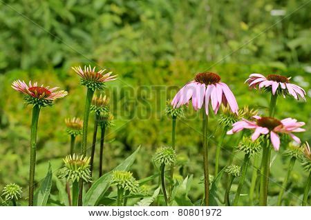Flowers Of Echinacea Purpurea