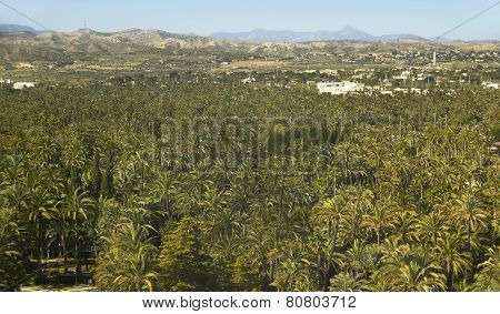 Palm Tree Forest In Elche. Alicante. Spain