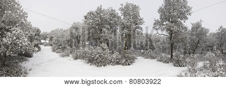 Panoramic View Of A Snow Covered Forest. Spain