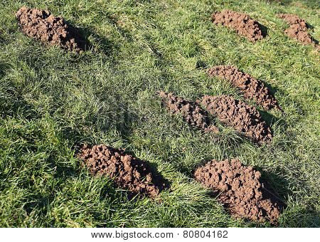 Molehills Caused By Moles In Meadow