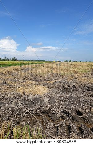 Paddy Fields In Asia After Harvest